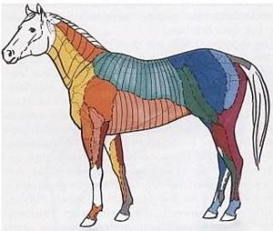 dermatome pferd, HEAD-Zonen pferd