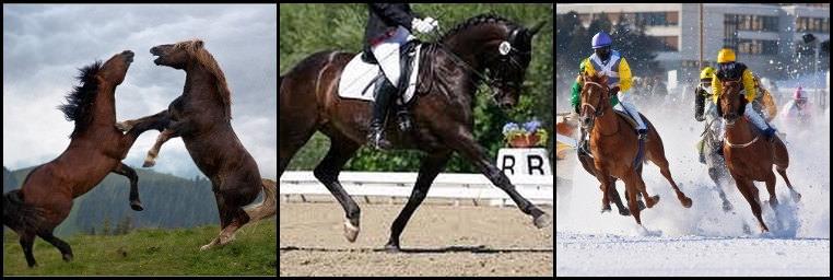 pferdeosteopathie dressurpferde, pferdeosteopathie rennpferde, pferdeosteopathie hengste