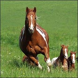 pferdeosteopathie, osteopathie pferde