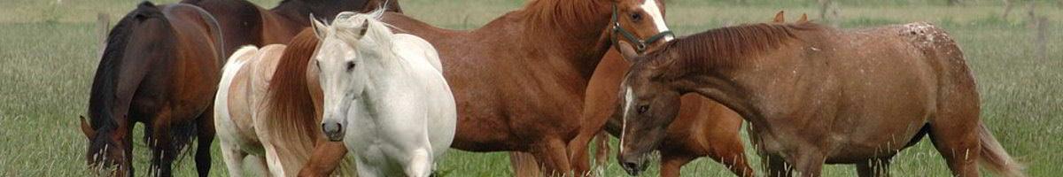 sattelzwang, pferd gibt hufe nicht, pferd lahmt, geht nicht am zügel