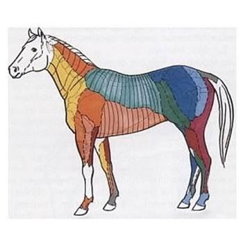 cushing pferd, hufrehe pferd, insulinresistenz pferd