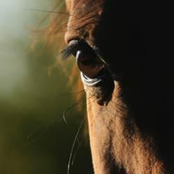 pferdeosteopath, pferd genick verwirft sich, pferd schief,